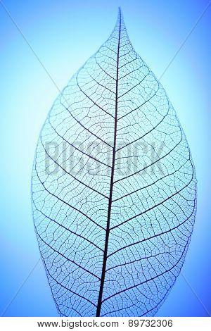 Skeleton leaf on blue background, close up