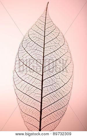 Skeleton leaf on pink background, close up