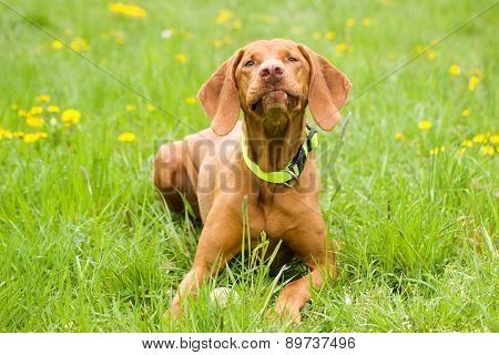 Vizsla in the grass