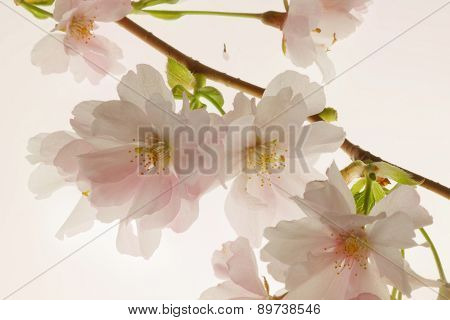Very Bright Branch Of Blooming Cherry Tree