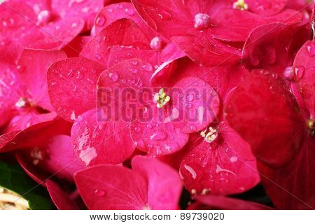 Closeup of beautiful pink hydrangea flowers