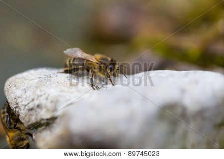 Honeybee Resting On Stone. Macro Of Insect