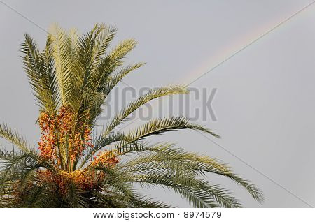 Senegal Palm And Rainbow