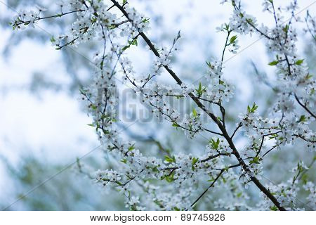 White Flowers Of Plum Tree