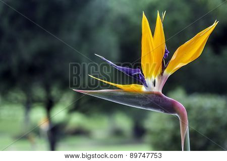 Strelitzia Reginae Is A Monocotyledonous Flowering Plant Indigenous To South Africa.