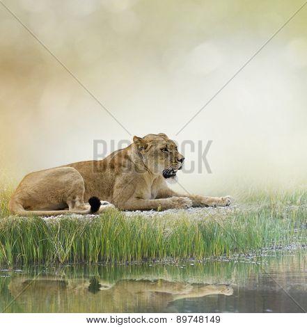 Female Lion Resting Near Pond