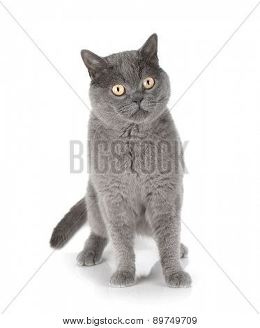 Beautiful gray cat. Isolated on white background