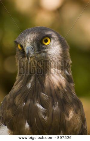 Short Toed Eagle ( Circaetus Gallicus )