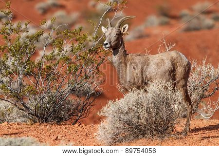 Desert Big Horn Sheep In Mojave Desert