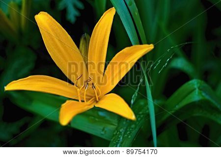 Yellow wild Lily, Lilium