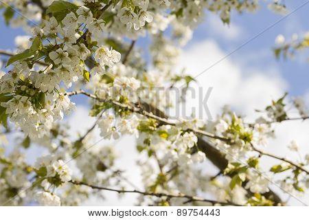 Apple Tree On Sky