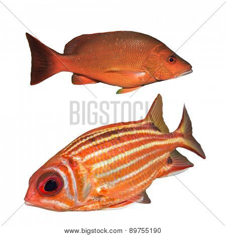 Red Snapper fish and Squirrelfish isolated on white background