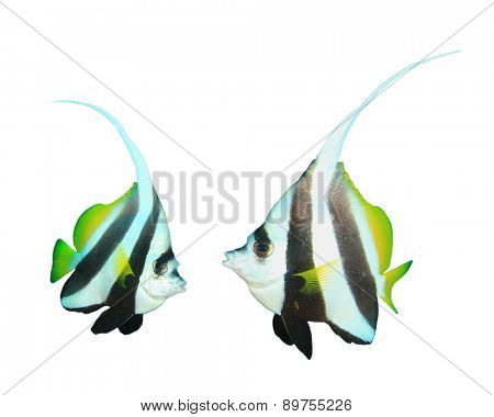 Tropical fish isolated white background: Bannerfish