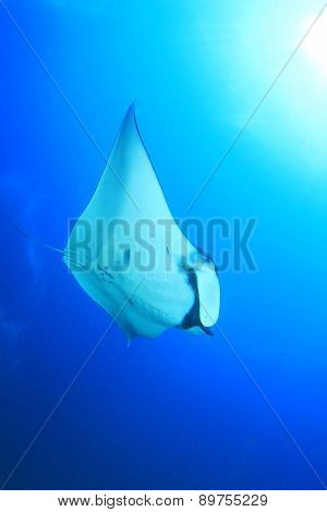 Manta Ray underwater blue background