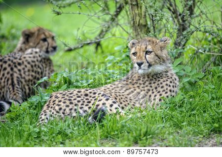 Cheetah Cub Lying In Grass