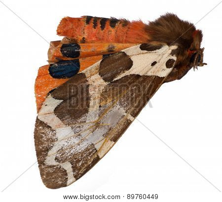 macro photo of brown and orange butterfly isolated on white background