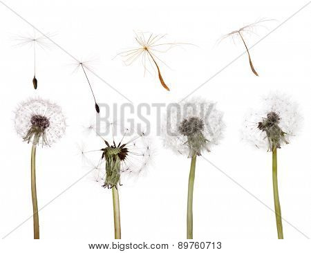 old dandelions and seeds isolated on white background