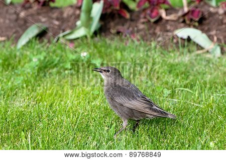 young common starling (Sturnus vulgaris) on  spring green grass