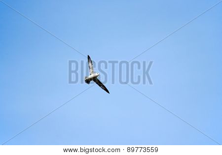 Herring gull flying