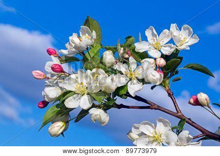 Flowering Crab Apple Blossom