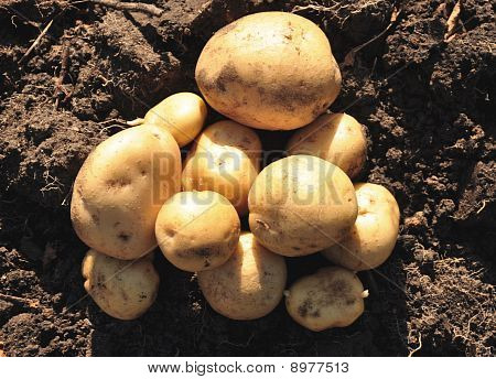Freshly Potatoes