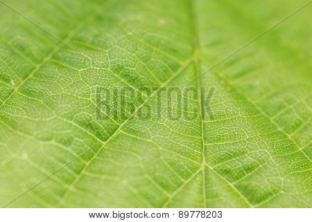 Textured Green Leaf