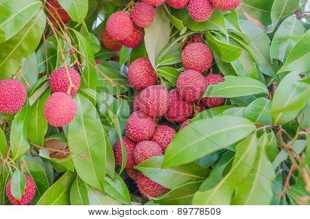 Lychee Fruit