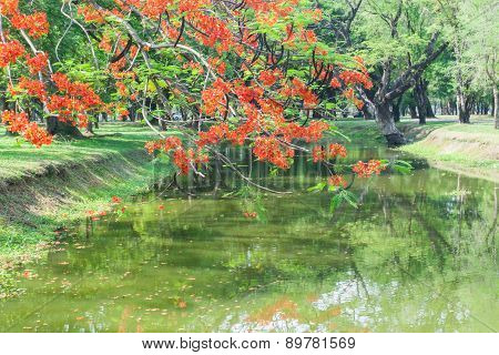 A Branch Of Flamboyant Tree With Red Flowers Over The River
