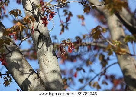 Red Maple leave flowers and seed pods starting to bloom in spring with blue sky