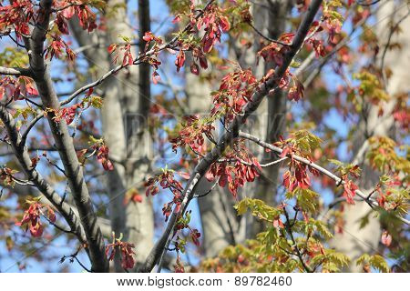 Red Maple leaf flowers and seed pods starting to bloom in spring with blue sky