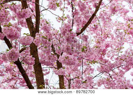 Pink Sakura Flower Blooming