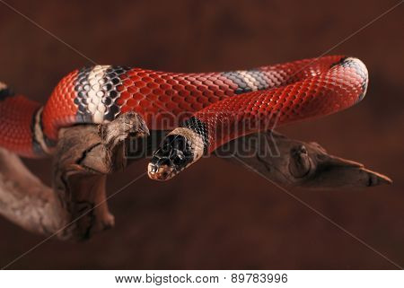 Colorful milk snake