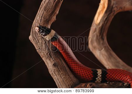 Milk snake and branch