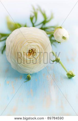 White ranunculus on vintage wooden background.