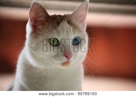 Cat with different color eyes