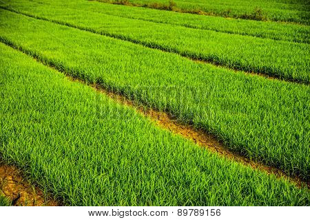 Vast fields of rice