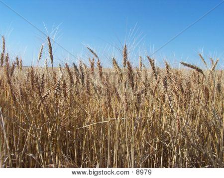 Nearing Harvest