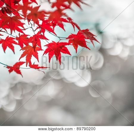 Autumnal Background, Slightly Defocused Red Marple Leaves