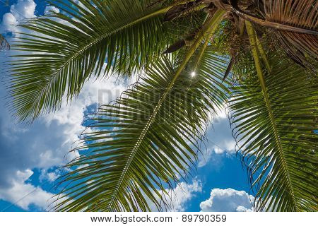 Coconut Palm Over Blue Sky Background