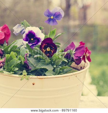 Tricolor Violet In The Old Bucket. The Rustic Style. Photo Tinted.