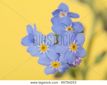 Tiny blue Forget-me-not flower on yellow background
