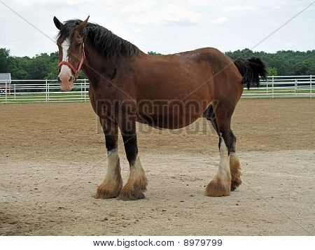 Pregnant Clydesdale
