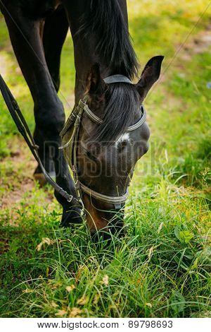 Black Horse Eats Grass In Spring Pasture