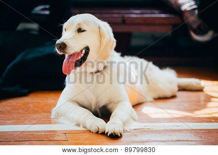 Close Up Young White Golden Labrador Retriever Dog