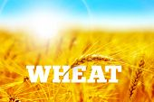 stock photo of fall-wheat  - Wheat field with blue sky vector background - JPG