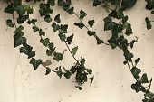 pic of ivy  - Ivy leaves covering white wall - JPG