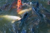image of koi fish  - Many Japanese Koi fish gathering to eat - JPG