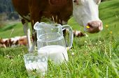 picture of cow  - Milk and cows - JPG