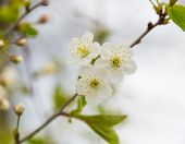 picture of tree-flower  - Beautiful white flowers of cherry tree - JPG