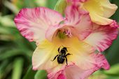 picture of bumble bee  - A bumble bee on a pink and yellow flower